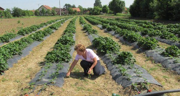 uzgoj jagoda Samac