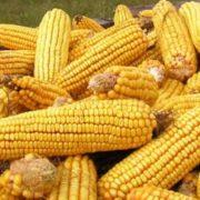 kukuruz-i-uzgoj-kukuruza