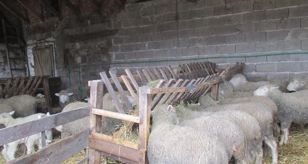 samac-ovce
