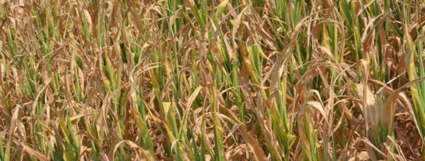 ШАМАЦ, 11. АВГУСТА /СРНА/ - У општини Шамац штета на кукурузу због суше већа је од 50 одсто, а процјене су да ће на неким подручјима бити и већа.