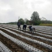 """НОВИ ГРАД, 20. СЕПТЕМБРА /СРНА/ -  Кооперанти из Новог Града који ће производити јагоде за предузеће """"Приједорчанка"""" из Приједора, завршили су садњу расада, потврђено је данас Срни у приједорској канцеларији Ресора за пружање стручних услуга у пољопривреди Министарства пољопривреде, шумарства и водопривреде."""