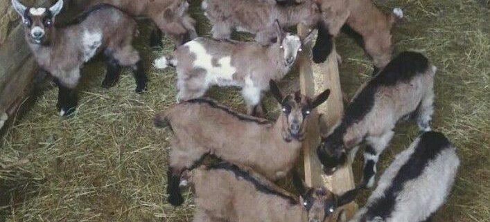 krstina-bojic-farama-koza
