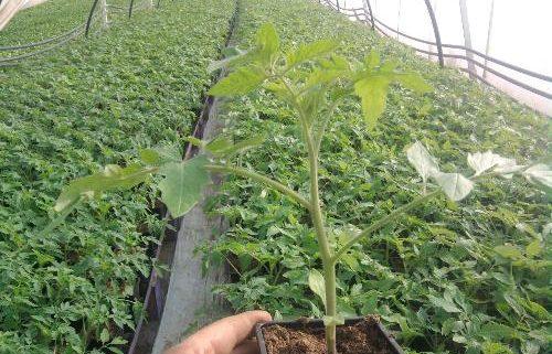 rasad-paradajza