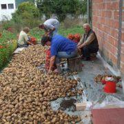 rogatica-krompir