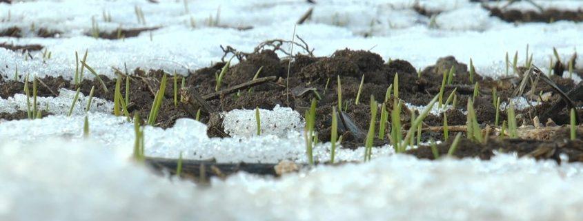 psenica-pod-snegom-i-anliza-1